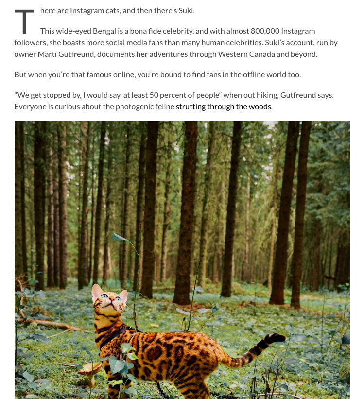 Suki the Bengal cat explores the woods.